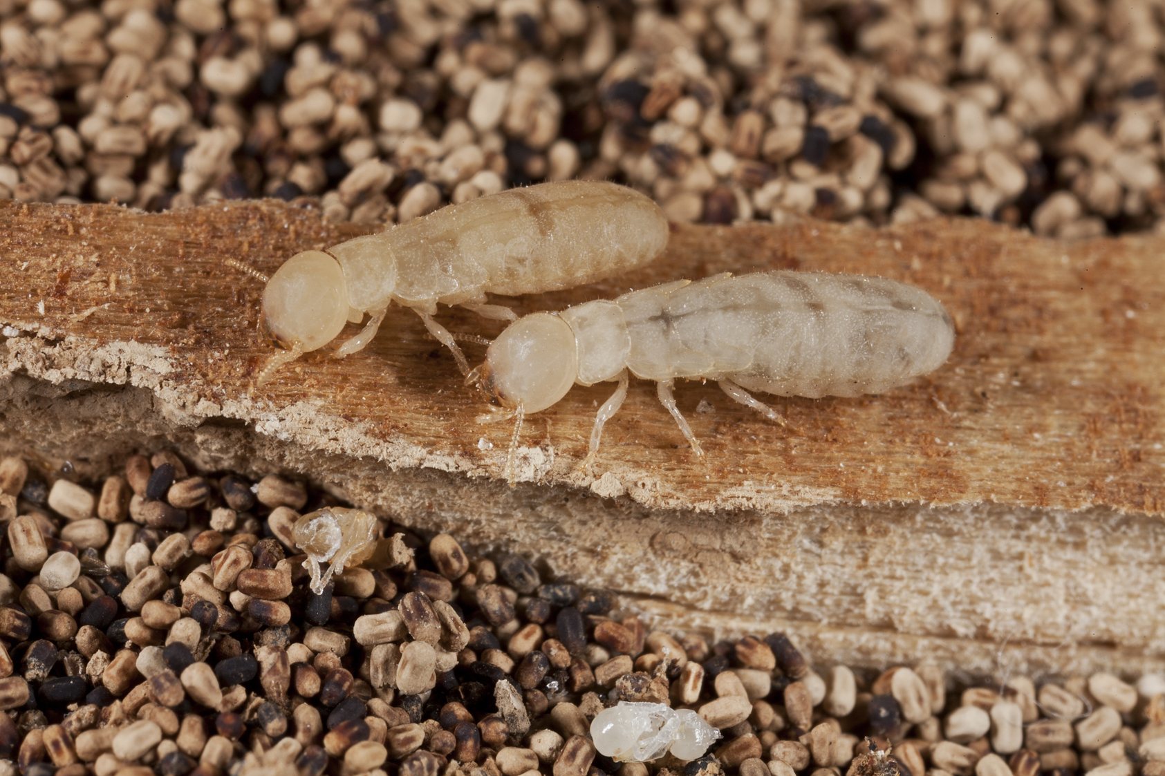 Hungry, Hungry Drywood Termites | Massey Services, Inc.