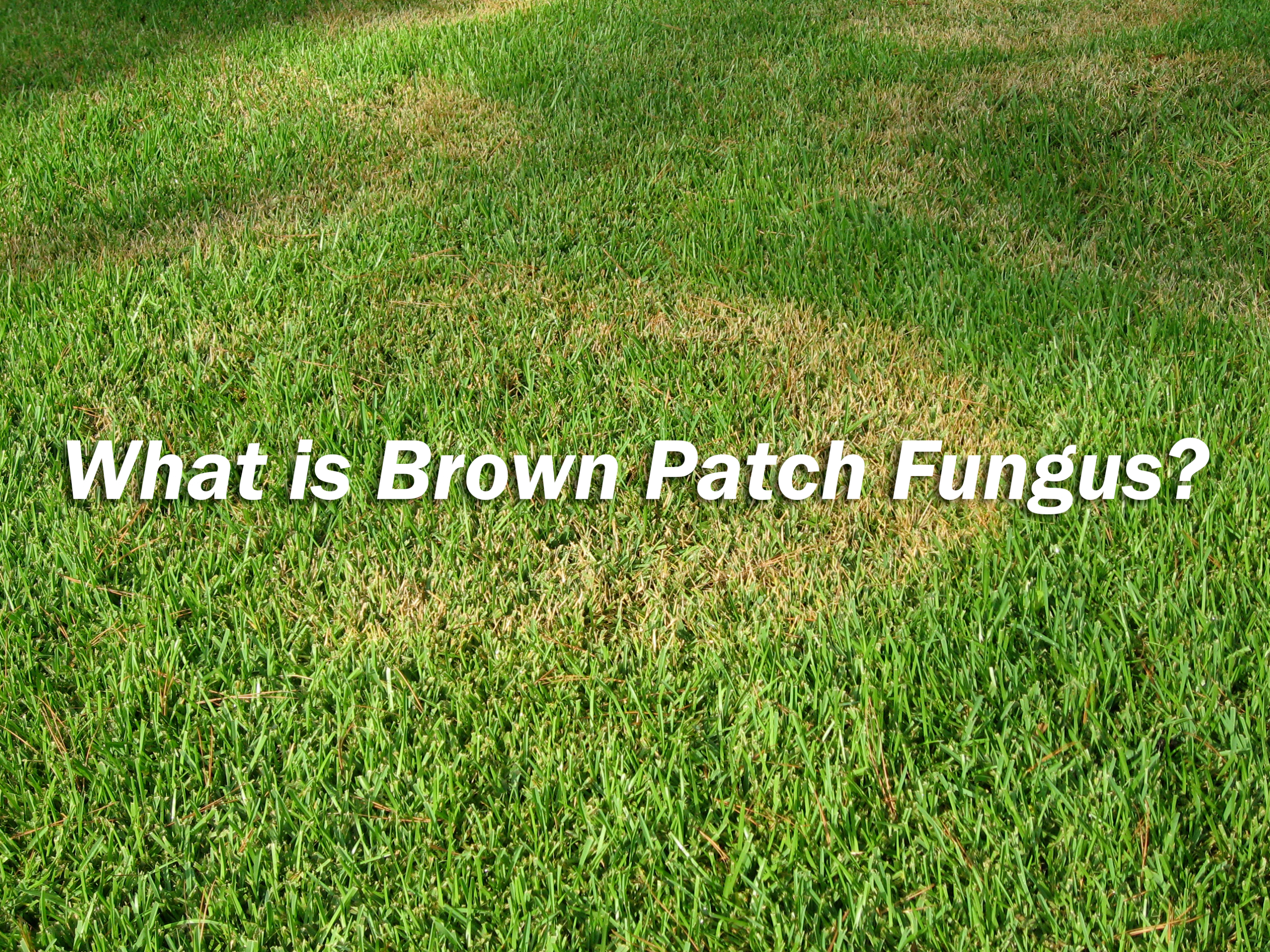 brown patch fungus