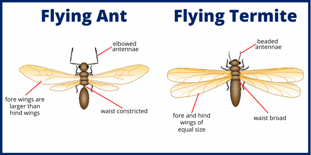 On the left is a flying ant and on the right is a flying termite. Flying ants have elbowed antennae and a constricted waist. While flying termites have a broad waste and beaded antennae. Flying ants vs termites